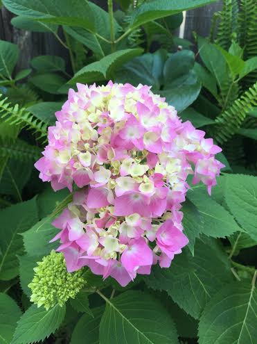may hydrangeas
